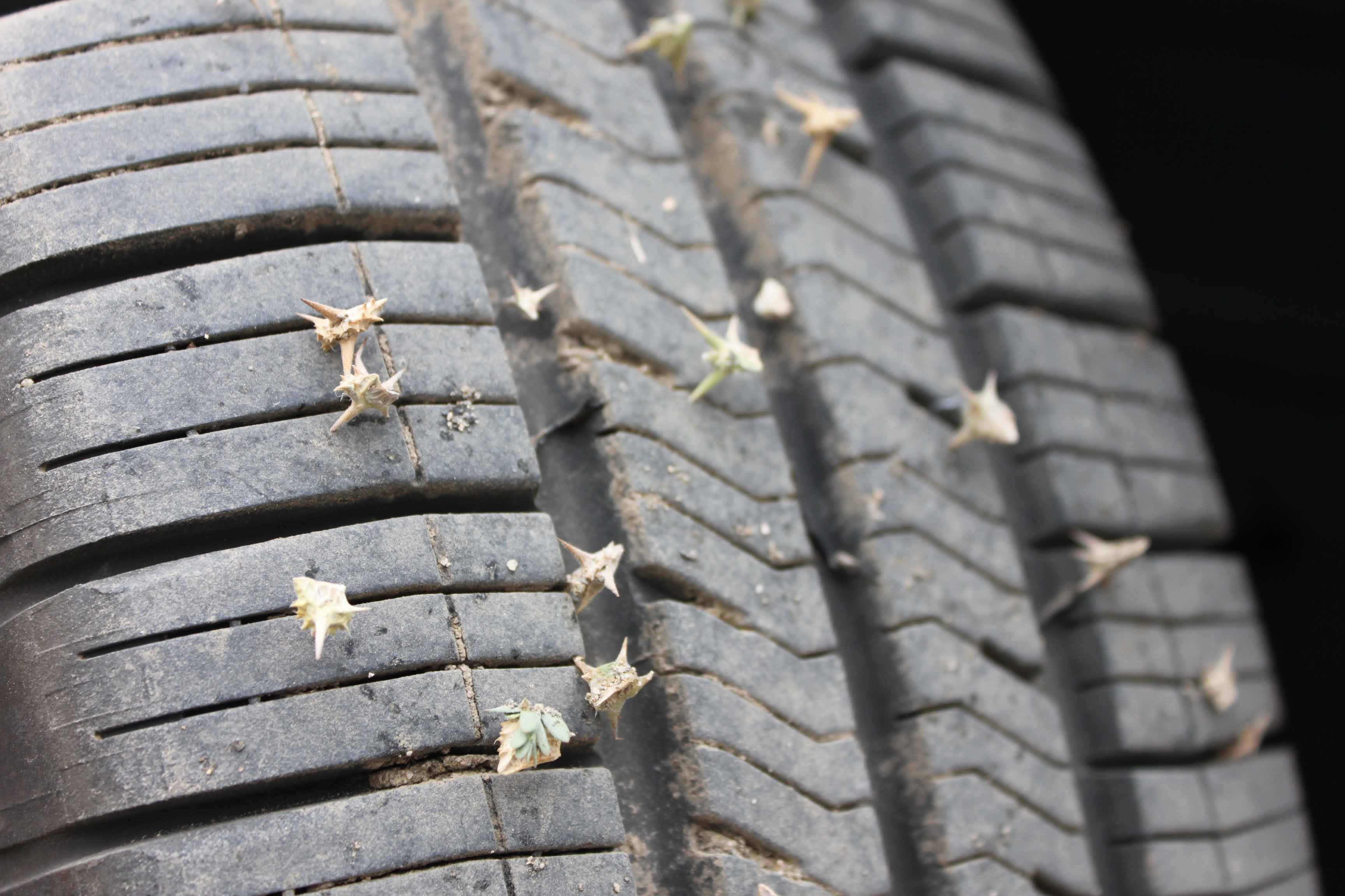 Puncturevine on Tire