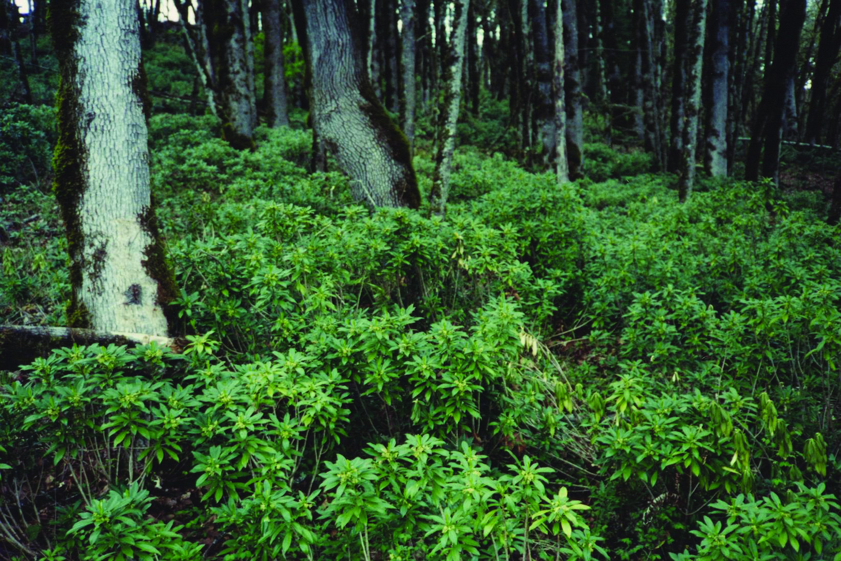 Spurge Laurel In Forest 1 Yamhill County