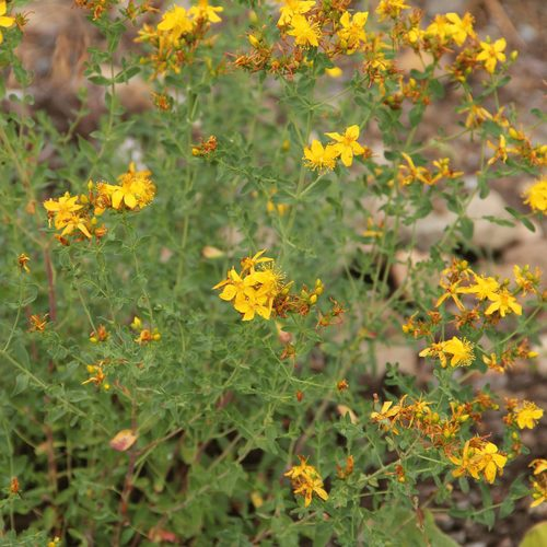 Common St. Johnswort