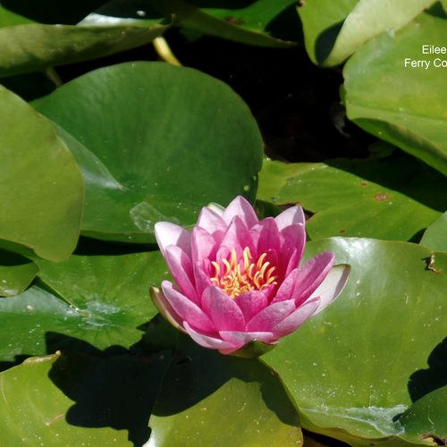 Fragrant Waterlily