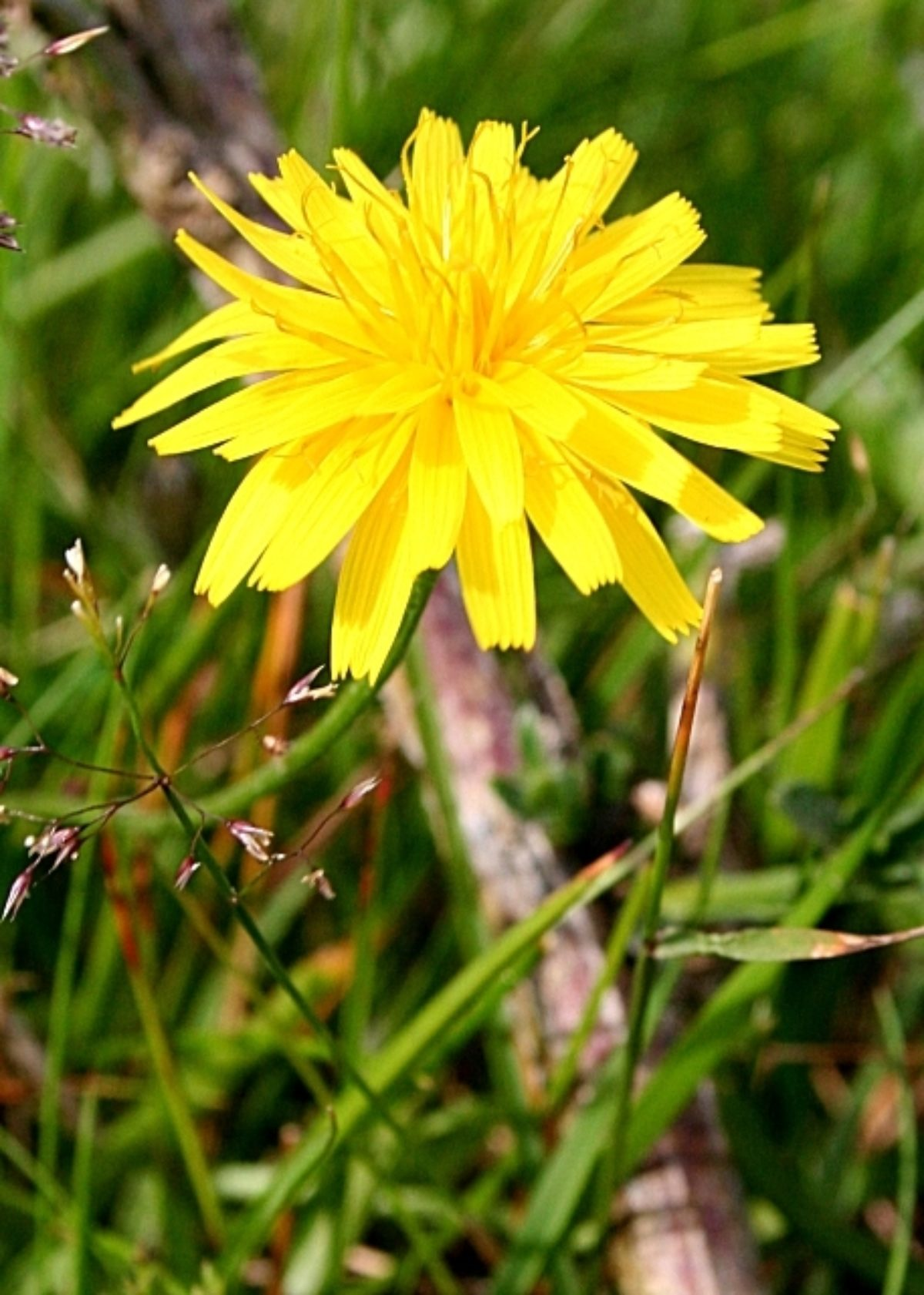 Non-Native Hawkweed Species