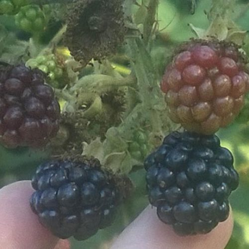 Himalayan Blackberry