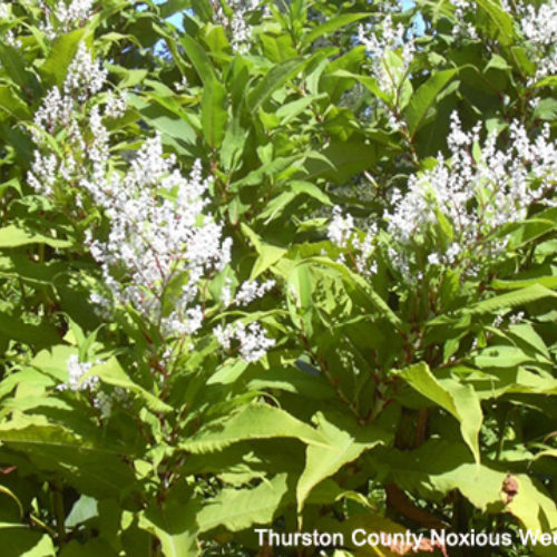 Himalayan Knotweed