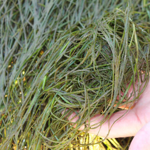Japanese Eelgrass