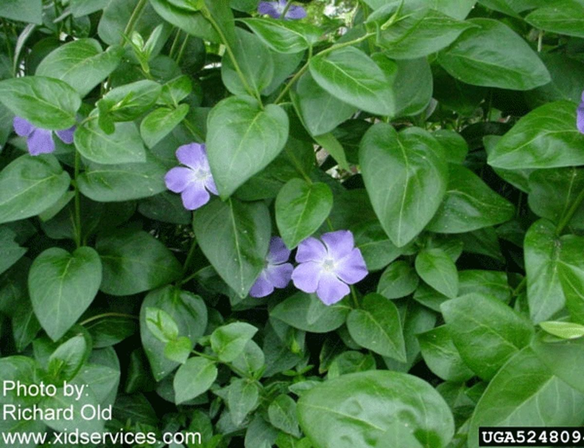 Large Periwinkle
