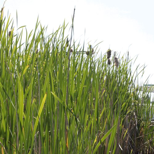 Nonnative Cattails