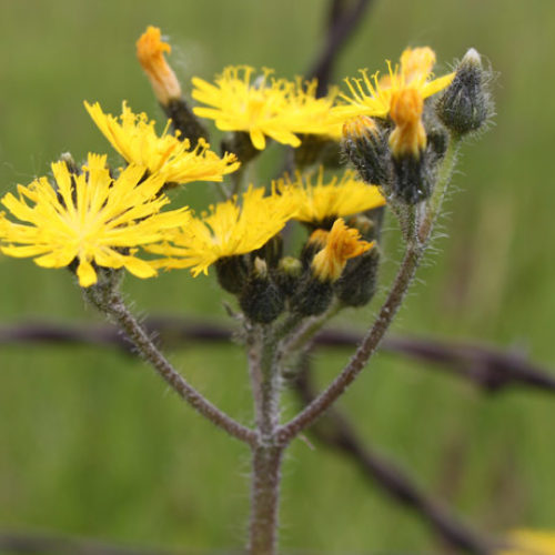 Nonnative Hawkweed Species & Hybrids of Meadow Subgenus