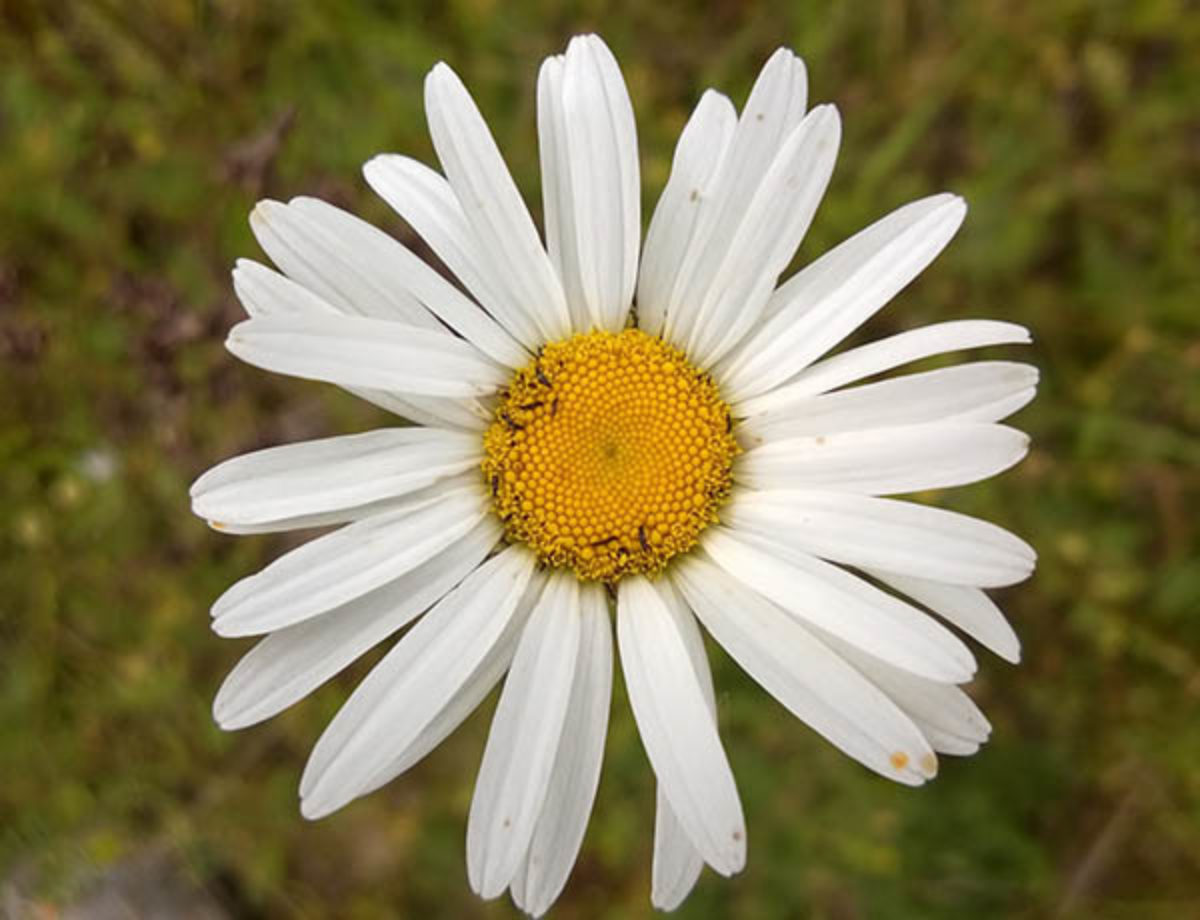 Washington state noxious weed control board oxeye daisy izmirmasajfo