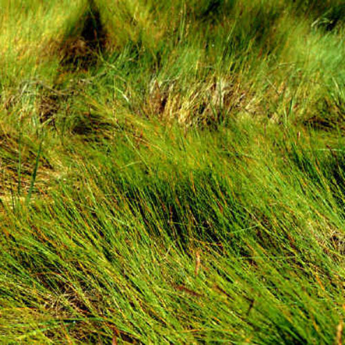 Salt Meadow Cordgrass