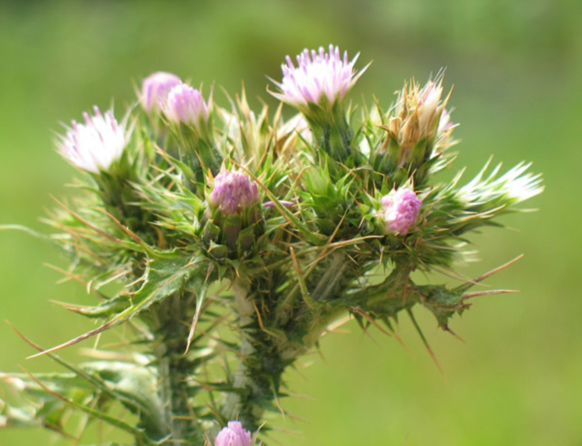 Slenderflower Thistle