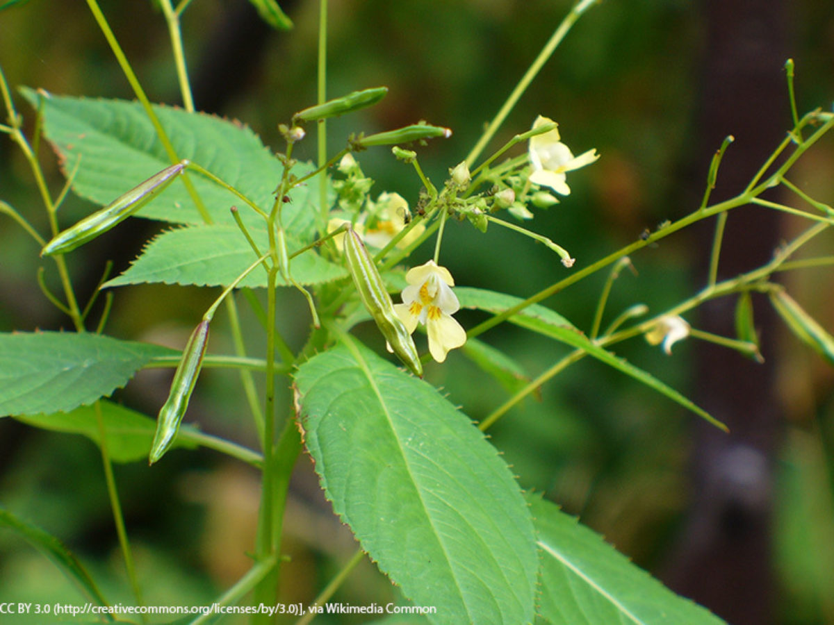 Small-flowered Jewelweed