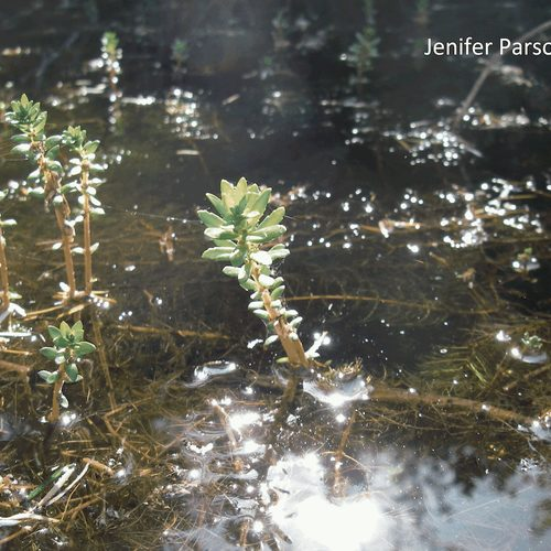 Variable-Leaf Milfoil